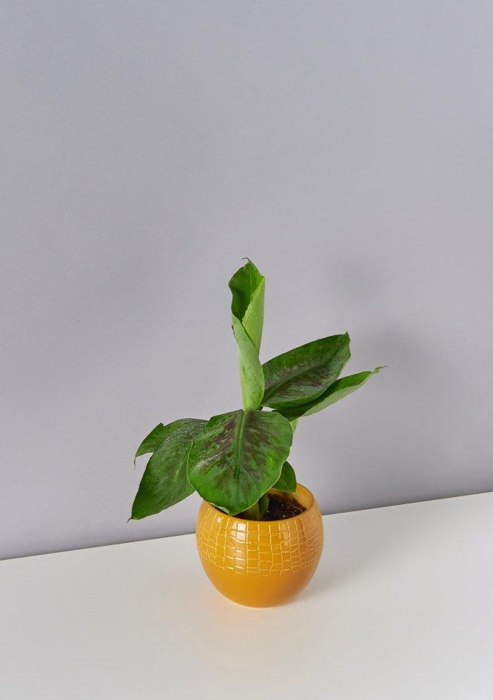 Банан (банановая пальма)