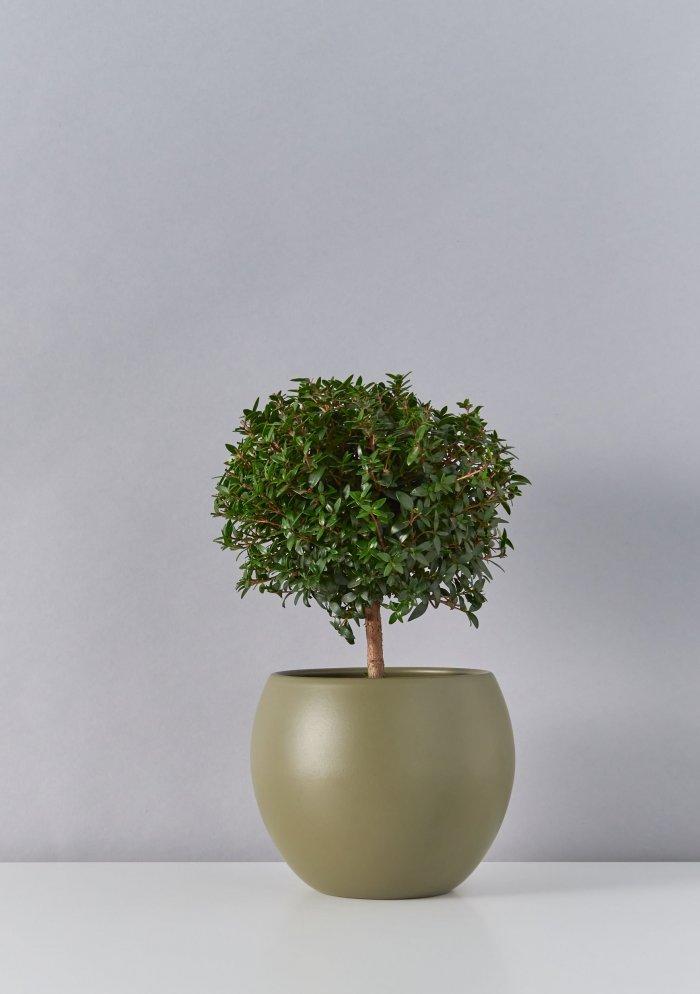Миртовое дерево (Мирт)