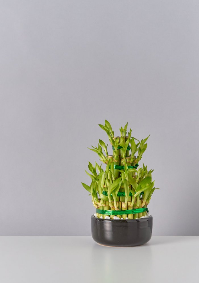 Драцена Сандера (лаки бамбук)