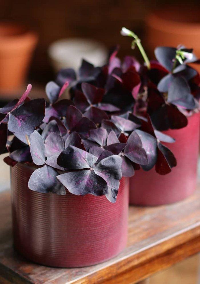 Оксалис (кислица) фиолетовая
