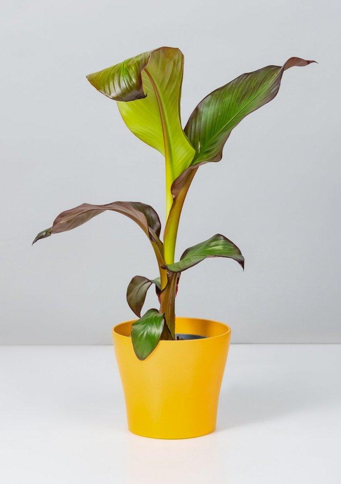 Красный Банан (Энсет)