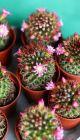 Цветущие маммилярии